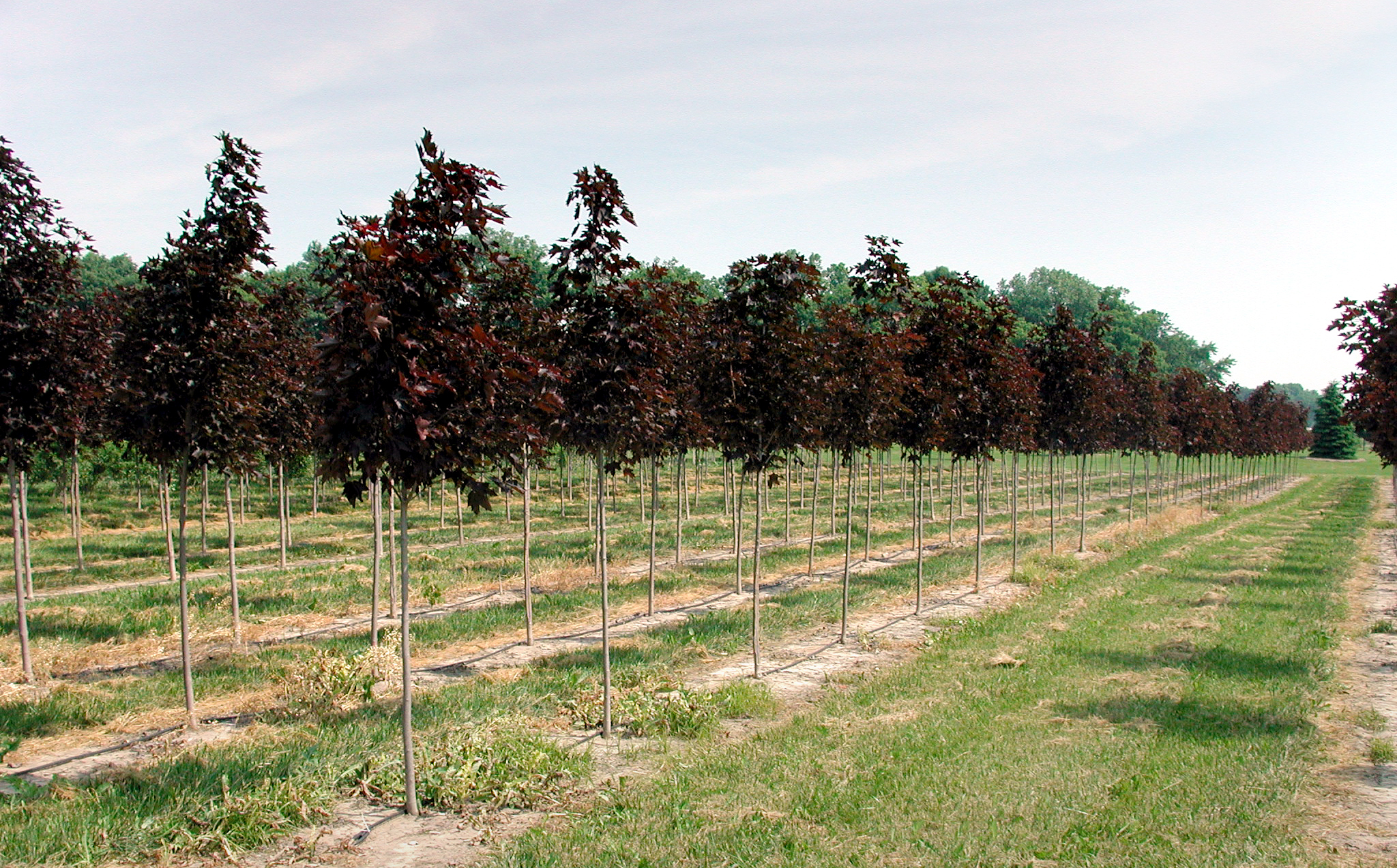 Most Of Our Varieties Shade And Ornamental Trees Evergreens Shrubs Are Available B Balled Burlaped Or In Containers